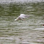 Tern Defending Nest